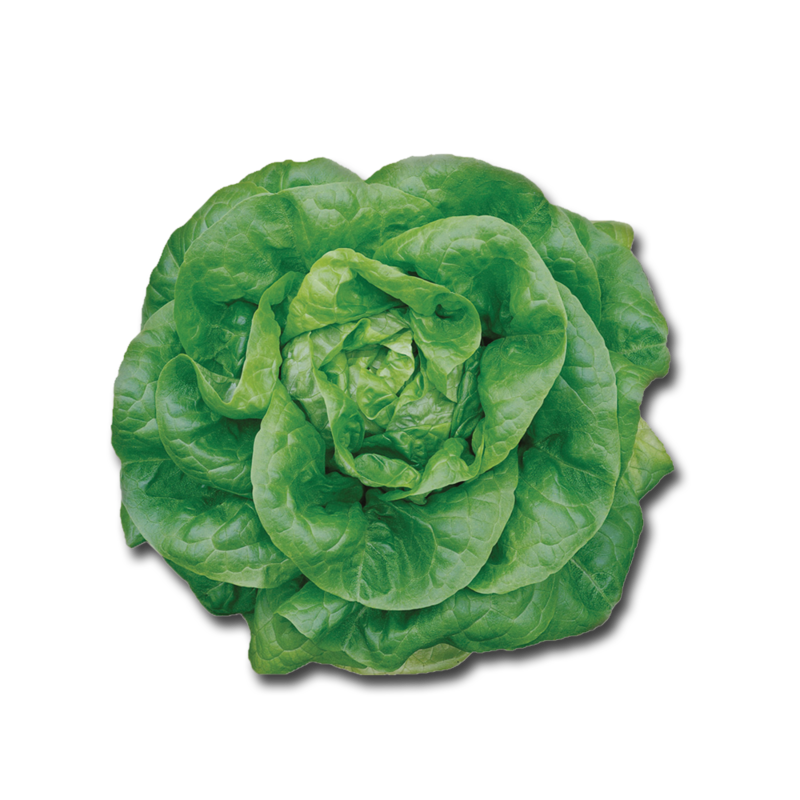 CT butterheadLettuce